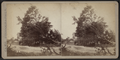 View of a large downed tree, by Camp, D. S. (Daniel S.).png