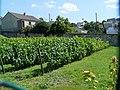 Vignes du coteau de Cachan - panoramio (1).jpg