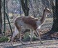 Vikunja Lama vicugna Tierpark Hellabrunn-19.jpg