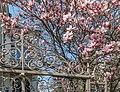 Villach Perau 10.-Oktober Straße 22 Magnolienblüte 23042021 0833.jpg