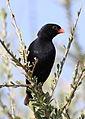 Village indigobird, Vidua chalybeata, at Mapungubwe National Park, Limpopo, South Africa (male) (18037427895).jpg