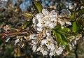 Vitoria - Huertas de Olárizu - Prunus avium -BT- 01.jpg
