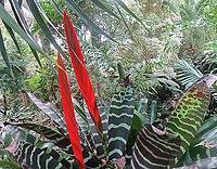 L. splendens, papegojstjärt