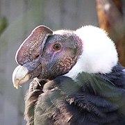 Vultur gryphus -upper body-8a.jpg