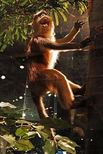 Guenon - Crested mona monkey (C. pogonias)