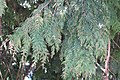 W Red Cedar 169.jpg