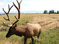 Want some elk with that rack.jpg