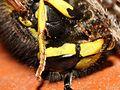 Wasp vs Spider Fight (2787153904).jpg