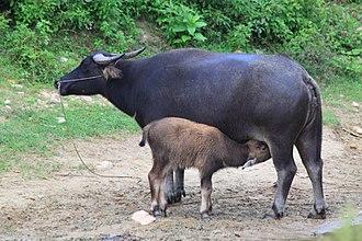 Water buffalo - Female water buffalo and calf