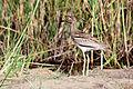 Water thick-knee dikkop burhinus vermiculatus.jpg