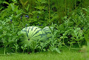 Description de l'image Watermelon-garden.jpg.