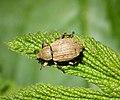 Weevil. Barynotus moerens - Flickr - gailhampshire (1).jpg