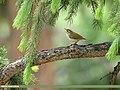 Western Crowned Warbler (Phylloscopus occipitalis) (43148937374).jpg