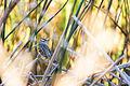 White-Crowned Sparrow (23064125609).jpg