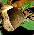 White-bar Bushbrown (Mycalesis anaxias)-Chembra -Wayanad.jpg