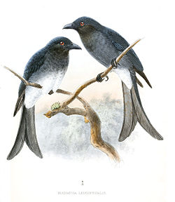 White-bellied Drongo.jpg