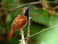 White-bellied antbird AB road (34221187182).jpg