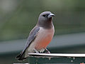 White-breasted Woodswallow RWD5.jpg