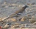 White-browed Sparrow-weaver (Plocepasser mahali) (23684430482).jpg