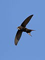White-rumped swift, Apus caffer, at Suikerbosrand Nature Reserve, Gauteng, South Africa (22725831073).jpg
