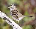 White-throated Sparrow DSC3600vv.jpg