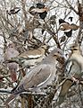 White-winged dove From The Crossley ID Guide Eastern Birds.jpg