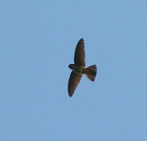 White-rumped Swiftlet Aerodramus