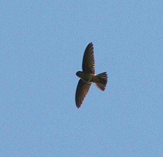 Aerodramus - White-rumped swiftlet in flight