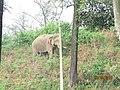 Wild Elephant - കാട്ടാന 02.jpg