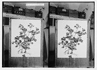 Wild flowers of Palestine. Wood-mallow (Malva sylvestris L.) LOC matpc.02428.jpg