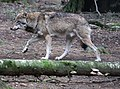 Wolf Canis lupus Wildpark Poing-06.jpg