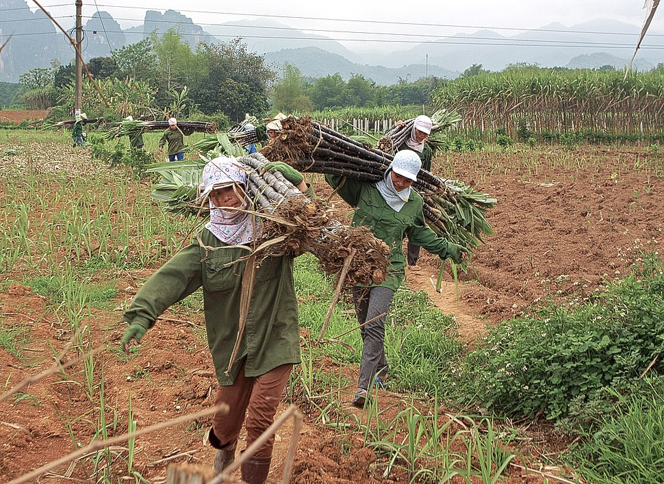 Woman collecting sugar canes in Vietnam