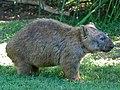 Wombat 3.jpg