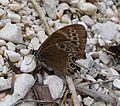 Woodland Brown. Lopinga achine. (16053699887).jpg