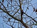 Woodpecker Mysore.jpg