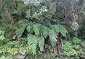 Woodwardia radicans kz6.JPG
