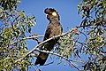 Yellow-tailed black cockatoo.jpg