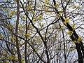 Yellow Sakura at Hasedera Temple 長谷寺黃樱花 - panoramio.jpg
