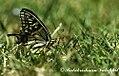 Yellow swallowtail kalatop dalhousie 2011 05 02 0636 1 (6431295195).jpg