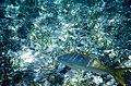 Yellowtail Snapper (Ocyurus chrysurus) (35855753524).jpg