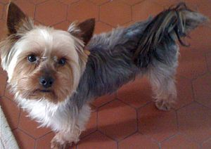 Yorkshire Terrier Simple English Wikipedia The Free Encyclopedia