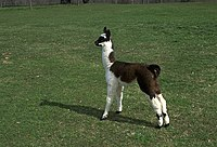 Young llama at Homestead Llamas in Davidsonville, MD.jpg