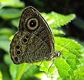 Ypthima baldus – Common Five-ring 01.JPG