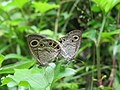 Ypthima huebneri – Common Four-ring mating 01.jpg