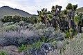 Yucca brevifolia.JPG