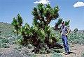 Yucca brevifolia ssp. jaegeriana fh 1183.78 NV Tom Sloan B.jpg