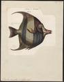 Zanclus cornutus - 1700-1880 - Print - Iconographia Zoologica - Special Collections University of Amsterdam - UBA01 IZ13500505.tif