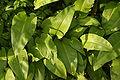 Zbiorowisko Allium ursinum 1pl.jpg