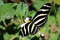 Zebra (Heliconius charithonia ramsdeni).JPG