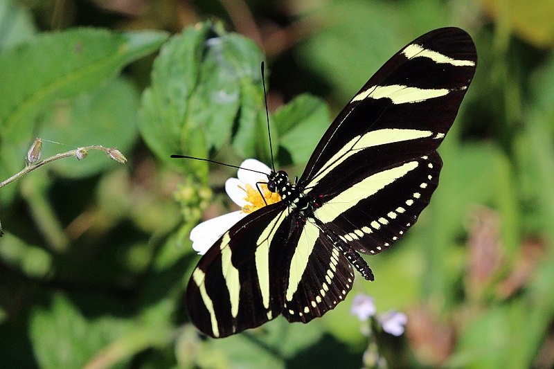 Bộ sưu tập cánh vẩy 4 - Page 46 800px-Zebra_%28Heliconius_charithonia_ramsdeni%29